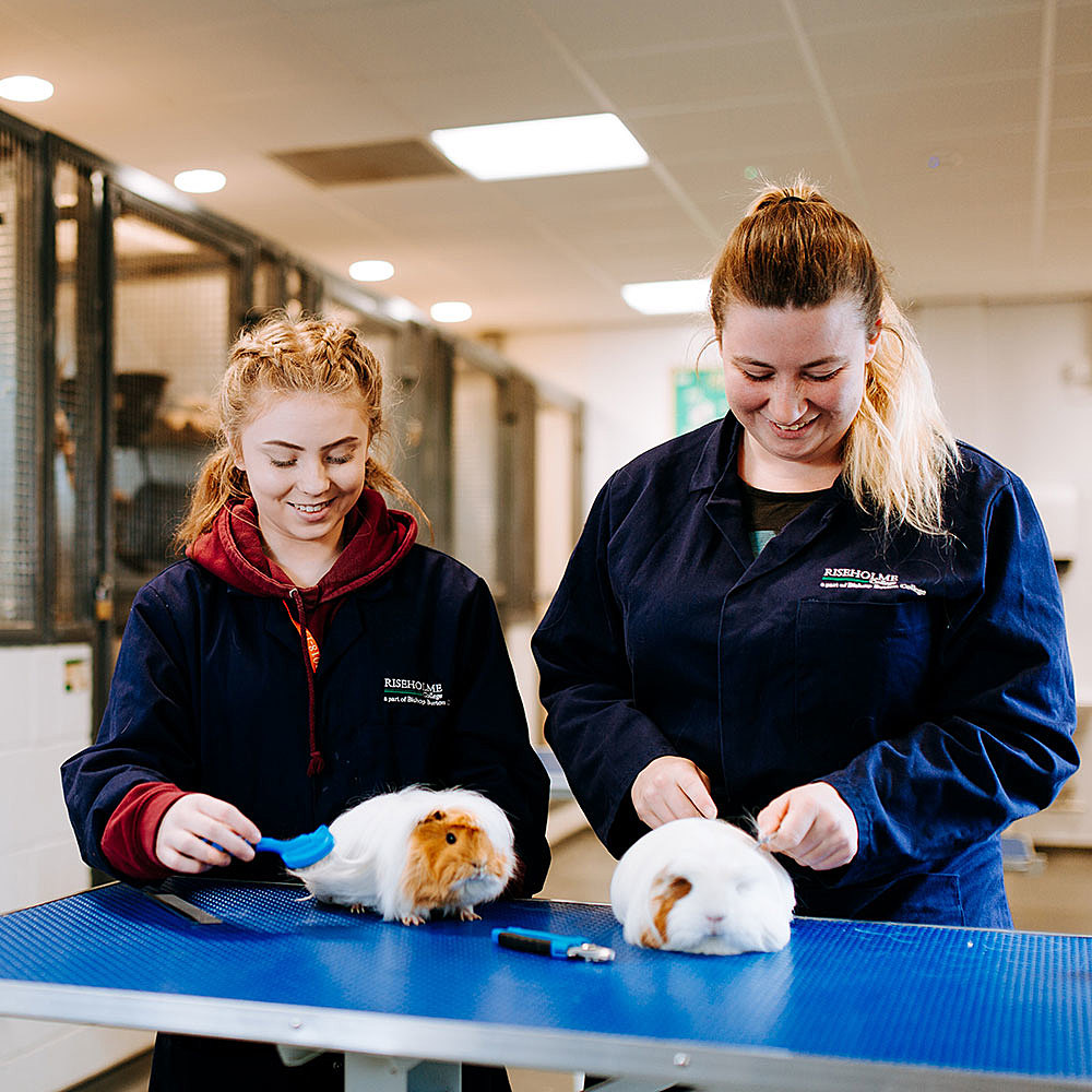 Animal care students grooming guinea pigs at Riseholme College